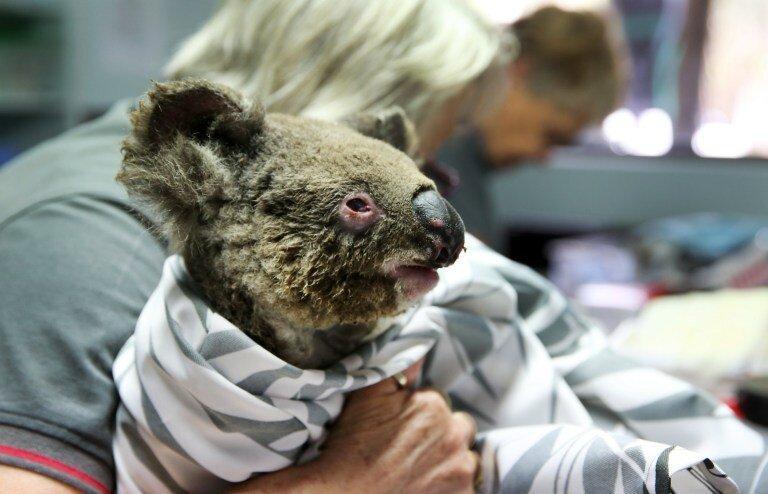 بیمارستان کوالاها؛ کوشش برای پرورش و نجات حیوانات از آتش سوزی های استرالیا