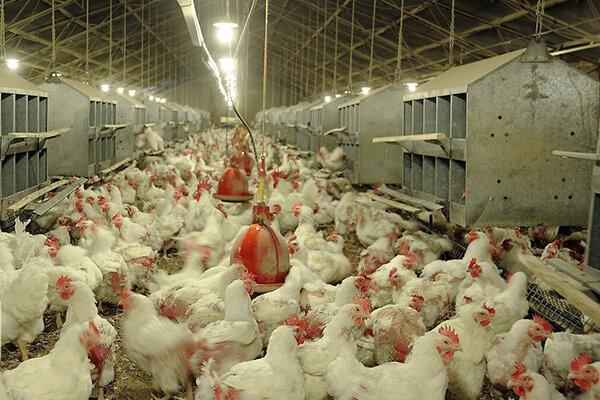 500 میلیارد تومان میزان سرمایه گذاری صنعت مرغداری در بوشهر