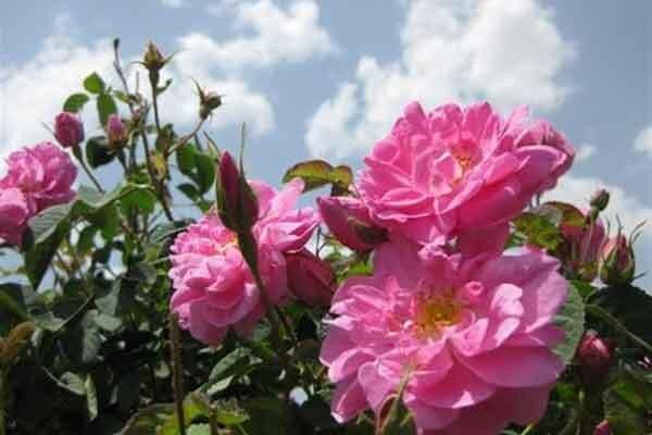 کارآفرینی با رایحه گل محمدی در چهارمحال و بختیاری ، ارزآوری توسط محصولی که خواهان زیادی دارد